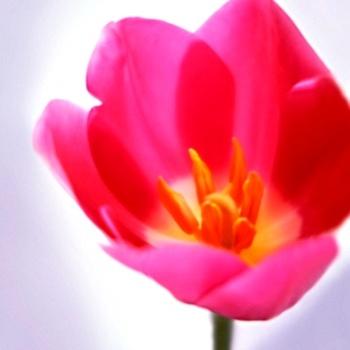 цветок очарования